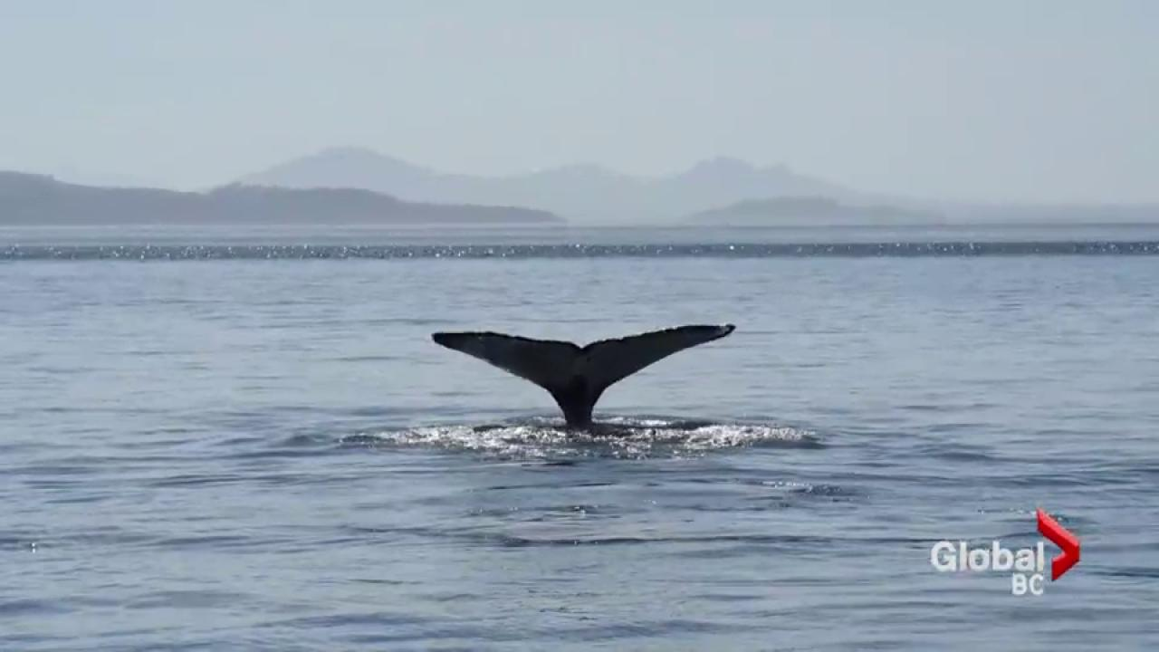 Drones helping humpback whale research | Watch News Videos Online