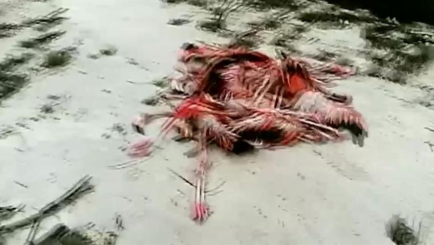Hundreds Of Flamingos Killed Injured By Hurricane Irma
