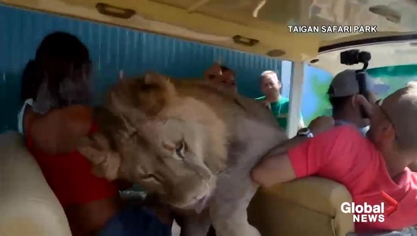 Lion jumps into car at safari park in crimea startling tourists lion jumps into car at safari park in crimea startling tourists watch news videos online m4hsunfo