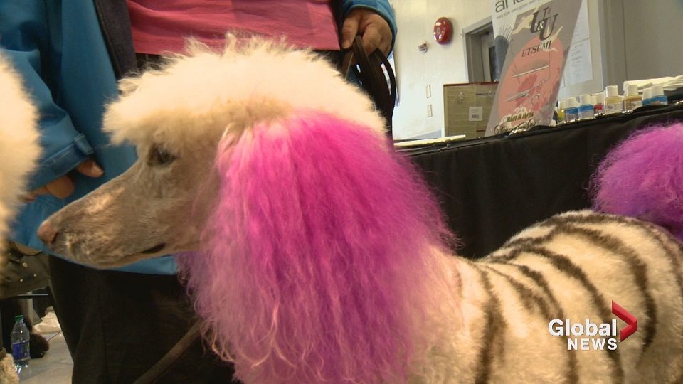 Zebra poodle steals the show at calgary dog grooming event watch zebra poodle steals the show at calgary dog grooming event watch news videos online solutioingenieria Gallery