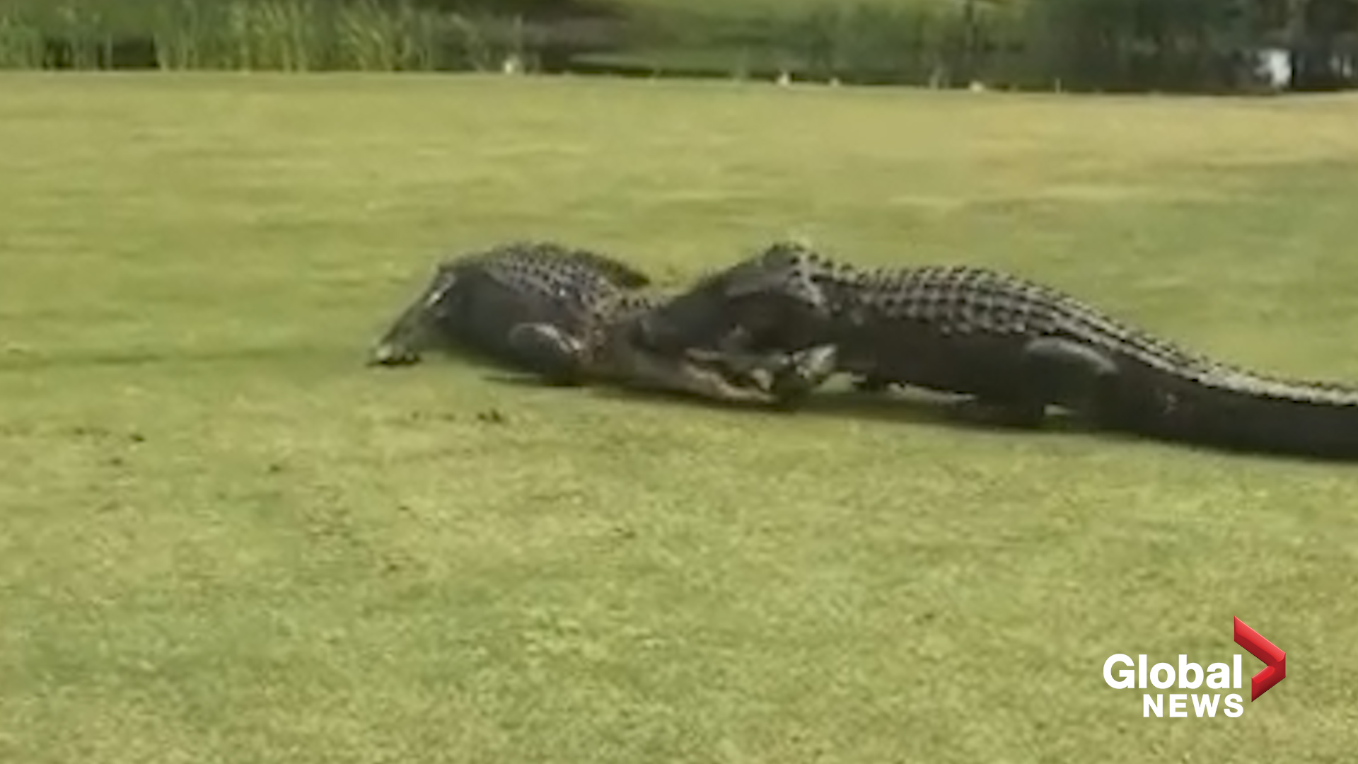 Two Large Alligators Caught Fighting On Golf Course In South Carolina Watch News Videos Online